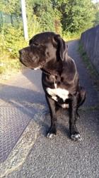 Irina, chien Cane Corso