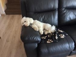 Irina, chien Bichon à poil frisé
