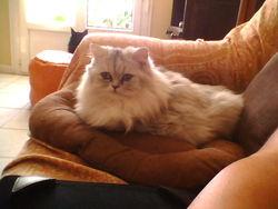 Irina, chat British Shorthair