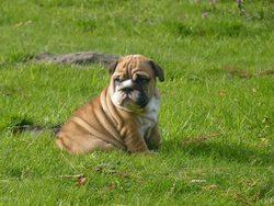 Iris, chien Bulldog