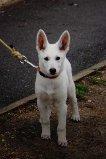Iris, chien Berger blanc suisse