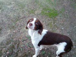 Iris, chien Épagneul français