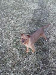 Iris, chien