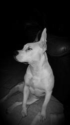Iris, chien American Staffordshire Terrier