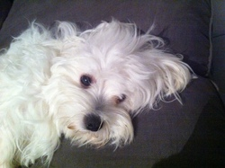 Iris, chien Bichon maltais