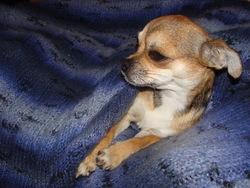Iris, chien Chihuahua