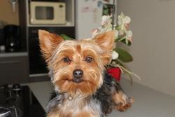 Iris, chien Yorkshire Terrier