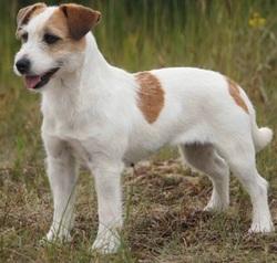 Iris, chien Jack Russell Terrier
