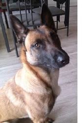 Iris, chien Berger belge