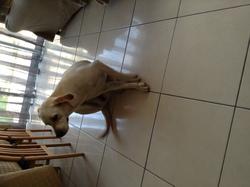 Iris, chien Labrador Retriever