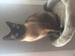 Iris, chat Siamois