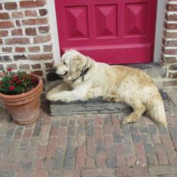 Iris, chien Golden Retriever
