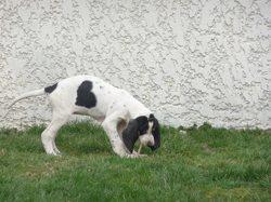 Iris, chien Grand Gascon saintongeois