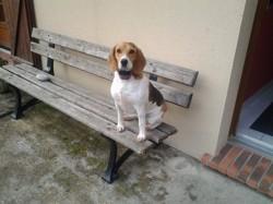 Iris, chien Beagle
