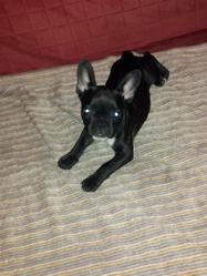 Iris, chien Bouledogue français