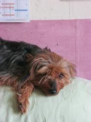 Iris, chien Teckel