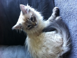 Iris, chat Sibérien