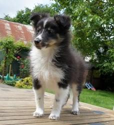 Iris, chien Berger des Shetland