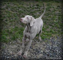 Iris, chien Braque de Weimar