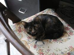 Iris, chat Européen