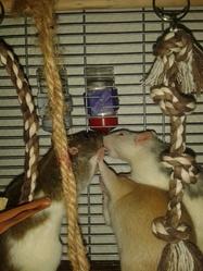 Iris, April, Nala, rongeur Rat