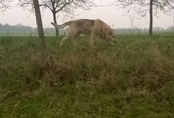 Iris Au Paradis , chien Berger allemand