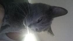 Iris, chat Chartreux
