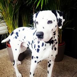 Irish, chien Dalmatien
