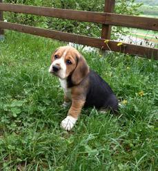 Irish, chien Beagle