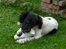 Irish, chien Épagneul breton