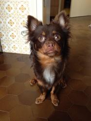 Irish, chien Chihuahua