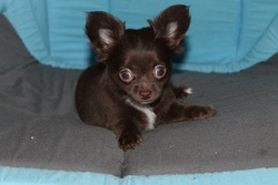 Irish Coffee, chien Chihuahua