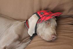 Irix, chien Braque de Weimar