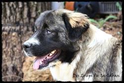 Irka, chien Berger du Caucase