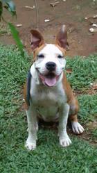 Irka, chien American Staffordshire Terrier
