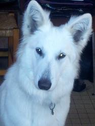 Irka, chien Berger blanc suisse