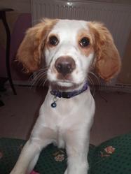 Irka, chien Épagneul breton
