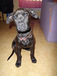 Irka, chien Cane Corso