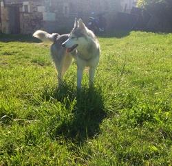 Irka, chien Husky sibérien