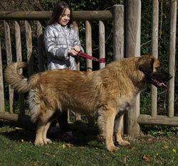 Irka De La Plaine D'Anjou, chien Leonberger
