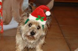 Irka Du Près Moussey, chien Cairn Terrier
