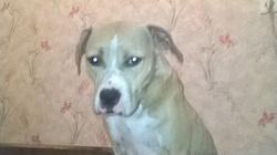 Irkana, chien American Staffordshire Terrier