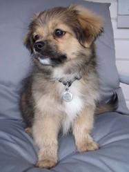 Irkhan, chien Épagneul tibétain