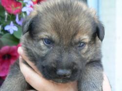 Irko Des Volcans D'Arés, chien Berger allemand