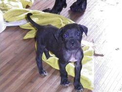 Irkos, chien Cane Corso