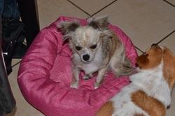 Irma, chien Chihuahua