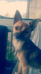 Irnac, chien Chihuahua