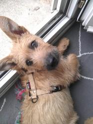 Iro, chien Griffon fauve de Bretagne