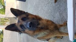 Iro, chien Berger allemand
