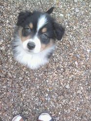 Iro, chien Berger australien